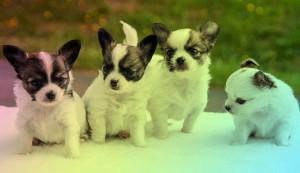 Nombres-De-Perritas-Chihuahua